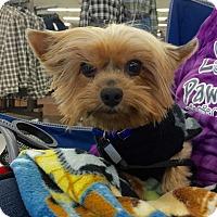 Adopt A Pet :: Trigger - Hillsboro, IL