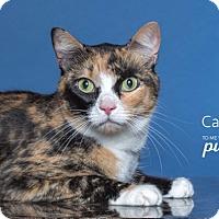 Adopt A Pet :: Callie - Houston, TX