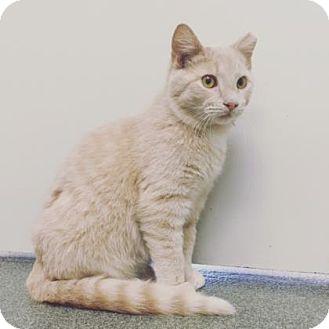 Domestic Mediumhair Cat for adoption in Mt. Pleasant, Michigan - Palmer