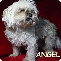 Adopt A Pet :: Angel - Batesville, AR