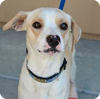 Beagle Mix Dog for adoption in Sunnyvale, California - Artie