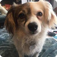Adopt A Pet :: Daisy - Manhattan Beach, CA
