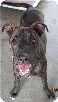 Mastiff Mix Dog for adoption in Dallas, Georgia - 16-10-2931 Delilah