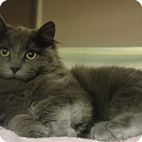 Domestic Longhair Kitten for adoption in Troy, Illinois - Brayton Fostered (Marcie)