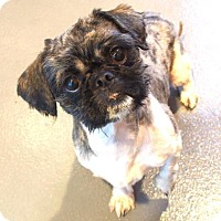 Shih Tzu Mix Dog for adoption in New Orleans, Louisiana - Fidget