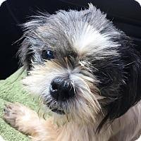 Shih Tzu Mix Dog for adoption in Summerville, South Carolina - Isabelle