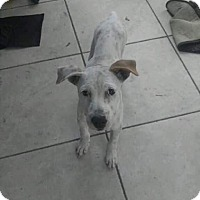 Labrador Retriever/Great Dane Mix Puppy for adoption in Boynton Beach, Florida - Loki