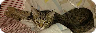 Ocicat Kitten for adoption in Rochester Hills, Michigan - Allie