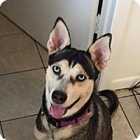 Adopt A Pet :: Scarlett - Sugar Land, TX