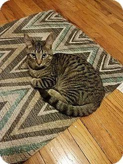 Domestic Shorthair Kitten for adoption in Columbus, Ohio - Myrtle