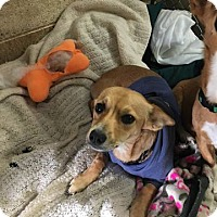 Adopt A Pet :: Honeybunch - Yucaipa, CA