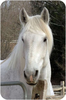 Percheron Mix for adoption in Washington, Connecticut - Jack