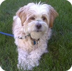 Lhasa Apso/Terrier (Unknown Type, Small) Mix Dog for adoption in Medford, Massachusetts - Bruiser - Courtesy Post