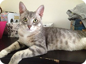 Domestic Shorthair Cat for adoption in Brooklyn, New York - Tiberius