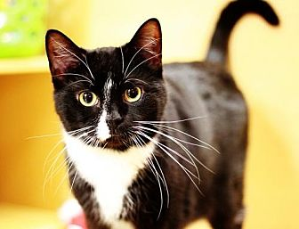 Domestic Shorthair Cat for adoption in Trenton, New Jersey - Donatelo (KC)