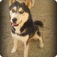 Adopt A Pet :: Balto - Yreka, CA