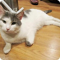 Domestic Shorthair Cat for adoption in Media, Pennsylvania - Sergeant Pepper (No adoption fee - Foster)