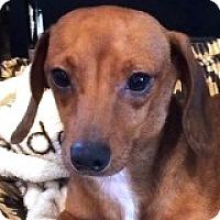 Adopt A Pet :: Poe Dameron - Houston, TX