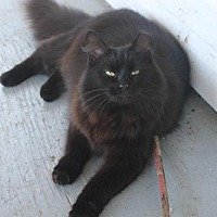 Domestic Longhair Cat for adoption in Morehead, Kentucky - Cookie ADULT FEMALE