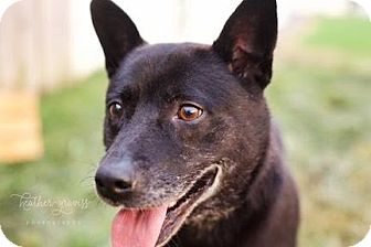 Cattle Dog/Shepherd (Unknown Type) Mix Dog for adoption in Goodlettsville, Tennessee - Rosie