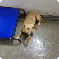 Labrador Retriever Mix Dog for adoption in Osceola, Arkansas - BELLA