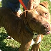 American Staffordshire Terrier/Labrador Retriever Mix Dog for adoption in Darlington, South Carolina - Tucker