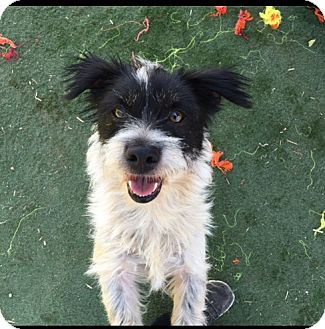 Terrier (Unknown Type, Small) Mix Dog for adoption in Toluca Lake, California - Chrissy