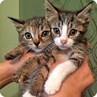 Adopt A Pet :: Masha and Caesar, Bonded Tabby Sibs - Brooklyn, NY