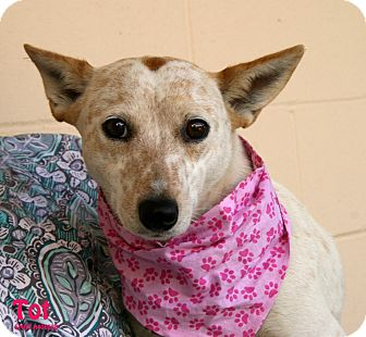 Australian Cattle Dog Mix Dog for adoption in Santa Maria, California - TOT