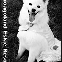 Adopt A Pet :: Shira - Elmhurst, IL