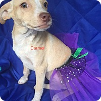 Adopt A Pet :: Carmel in CT - Manchester, CT