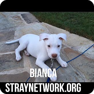 Labrador Retriever Mix Puppy for adoption in Colmar, Pennsylvania - Bianca