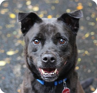 Labrador Retriever Mix Dog for adoption in Port Washington, New York - Bobby