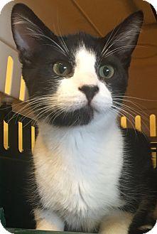 Domestic Shorthair Kitten for adoption in Encinitas, California - Droxie