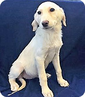 Golden Retriever/Great Pyrenees Mix Puppy for adoption in BIRMINGHAM, Alabama - Autumn