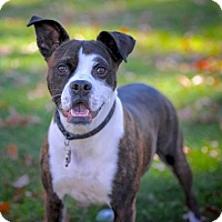 Boxer Mix Dog for adoption in Rockaway, New Jersey - Hildy Halifax