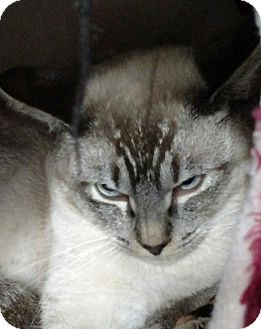 Siamese Cat for adoption in Yuba City, California - Liam