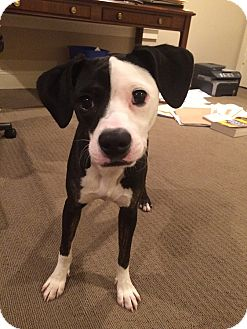 Terrier (Unknown Type, Medium)/Beagle Mix Dog for adoption in Houston, Texas - Missy