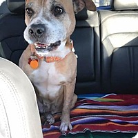 Staffordshire Bull Terrier/Boxer Mix Dog for adoption in Seattle, Washington - Jenny - The Perfect Lady