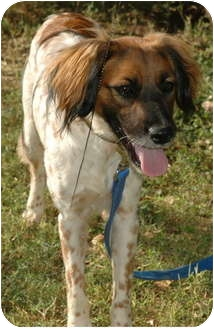 Setter (Unknown Type)/Brittany Mix Dog for adoption in Phoenix, Arizona - Pebbles