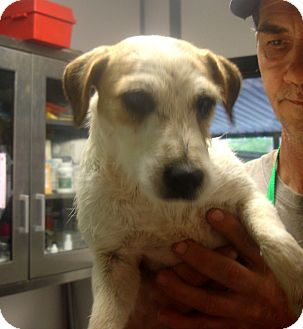 Jack Russell Terrier Puppy for adoption in baltimore, Maryland - Fashion
