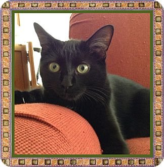 Domestic Shorthair Cat for adoption in Mt. Prospect, Illinois - Cinnamon