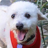 Adopt A Pet :: Kobe - La Costa, CA