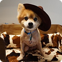 Adopt A Pet :: Cowboy - conroe, TX