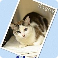 Adopt A Pet :: Ziggy - Arlington/Ft Worth, TX