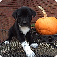 Adopt A Pet :: Pumpkin Spice - Bedminster, NJ
