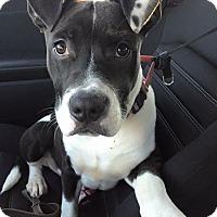 Adopt A Pet :: Cupid - Newtown, CT