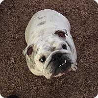 Adopt A Pet :: Sugar - Cibolo, TX