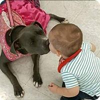American Staffordshire Terrier Dog for adoption in Los Banos, California - Sasha