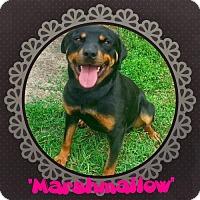 Adopt A Pet :: Marshmallow - Seaford, DE
